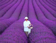 Cheap lavender seeds, Buy Quality flower seeds directly from China home garden Suppliers: 200 PCS / bag french provence lavender seeds very fragrant organic lavender seeds plant flower Flower seeds Home Garden Bonsai Texas Roadtrip, Texas Travel, Lavender Seeds, Growing Lavender, Lavender Plants, Lavender Garden, Lavender Flowers, Flowers Garden, Fredericksburg Texas