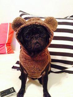 166 Best Pug Costumes Images On Pinterest Pugs Pugs In Costume