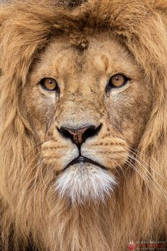 beautiful-wildlife: African Lion Portrait by Alisha Prajapat Lion And Lioness, Lion Of Judah, Beautiful Cats, Animals Beautiful, Tiger Artwork, Lion Photography, Lion Wallpaper, Lion Pictures, Lion Tattoo