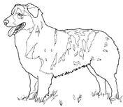 Australian Shepherd Coloring page