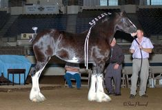 Onyx- Clydesdale mare