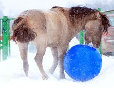 Showing off his skills, Bashkir Pony Gray gallops around with a ball that is seemingly glued to his hooves as he dazzles onlookers with his impressive touch. Shifting side to side through the snow, Gray appears to have mastered passing, dribbling and shooting thanks to hours of practice. (Caters News)