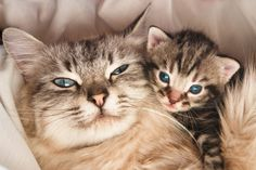 Sweetest Pictures of Mama Cats With Their Kittens | http://mycatcentral.com/pictures-mama-cats-kittens/