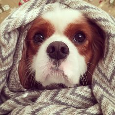 """Found OB another site....""""Winter can be harsh to a beauty!"""" #dogs #pets #CavalierKingCharlesSpaniels facebook.com/sodoggonefunny"""
