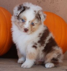 Another Darla later...but need half doodle again. Pretty red merle...Mini Australian Shepherd