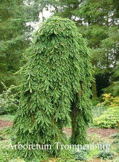 Picea abies 'Inversa'.  De hoogte na 10 jaar is 5 m