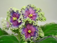 Look what the Russians have done to these poor helpless African violets