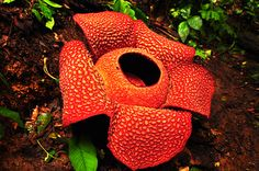 This place is also where many endemic plant species such as, bags semar, world's largest flower Rafflesia Arnoldi, and the highest interest Amorphophallus titanum. In addition to having high biodiversity, tropical rainforests of Sumatra are also a source of livelihood for the people who live there.