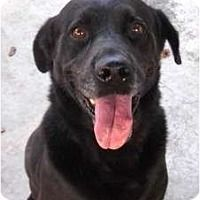 Senior Labrador Retriever Mix Dog for adoption in Key Biscayne, Florida - Sunset suffers from arthritis & would love a home to rest his weary bones in. Please open your heart & home to this sweet senior. Available at Born Free Pet Shelter.