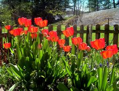 Tulips always shout 'Spring!'