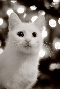 there's just something about white cats:)