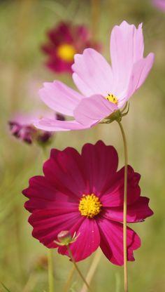 Cosmos Flowers, Flowers Nature, Exotic Flowers, Amazing Flowers, Pretty Flowers, Ikebana, Beautiful Flowers Wallpapers, Flower Aesthetic, Arte Floral