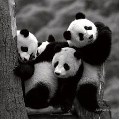 Pandabären Kunstdrucke von Danita Delimont bei AllPosters.de