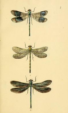 British libellulinae, or, Dragon flies : illust...
