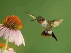 Hummingbird Art Print at AllPosters.com