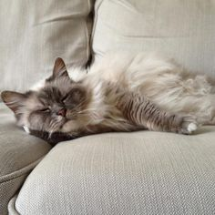 The Birmans are compatible with other animals in the house and can get along well , suitable for anyone who wants to keep a docile companion cat. Birman Cat, Russian Blue, Cat Breeds, Cool Cats, Animals And Pets, Kitty, Adorable Animals, Kisses, Blues