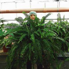 Boston fern, Nephrolepis exaltata Boston Ferns, Horticulture, Gardening, Plants, Garden Planning, Garten, Lawn And Garden, Plant, Yard Landscaping