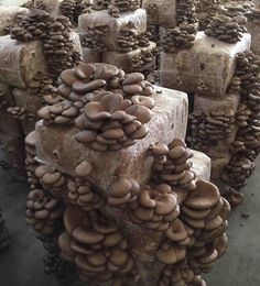 Vertical Vegetable Gardens, Indoor Vegetable Gardening, Veg Garden, Edible Garden, Garden Mushrooms, Edible Mushrooms, Growing Mushrooms, Stuffed Mushrooms, Oyster Mushroom Cultivation
