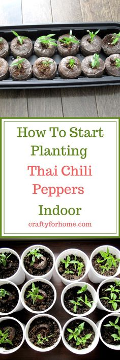 2 easy ways to planting Thai chili from seed indoor #indoorseeding #plantingchili #homegarden #vegetablegarden #propagatingplant