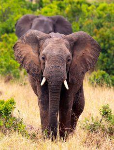 Elephant walking by Vishwa Kiran on 500px