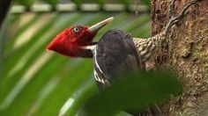 Attracted by the possibility to study a little-known, endangered woodpecker in a region in need of forest conservation, I moved to Misiones province in northeast Argentina in 2011. My aim was to study the requirements of the Helmeted Woodpecker in old-growth and logged forests. I also wanted to lear