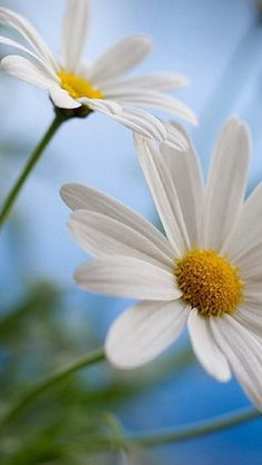 Shasta Daisies are one of my favorite flowers.