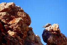 Black-footed Rock Wallaby beim Sprung - Yardie Creek & Yardie Gorge - Western Australia
