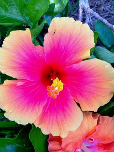 Maui Hibiscus close-up // Ben's Garden Growing Hibiscus, Hibiscus Tree, Hibiscus Plant, Hibiscus Flowers, Exotic Flowers, Diy Flowers, Beautiful Flowers, Flower Diy, Tropical Vibes