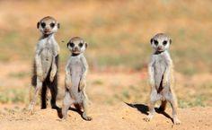 В Африке ученые обнаружили живых существ, которые могут замедлять все процессы жизнедеятельности и находится без кислорода десятки минут. Это небольшие зверьки под названием голые землекопы. Эти маленькие грызуны в основном обитают в восточной части африканс�
