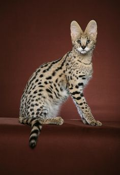 Savannah cat breed: A mix of an African serval and house cat. If one beconmes lost, they might be mistaken for a wild animal by those who are unfamiliar with the breed. This can create an unsafe situation for your pet. Make sure that your neighbors are educated about your cat and know where you live in case your cat runs into trouble. Also, have a microchip injected into your cat in case he ends up in the pound.