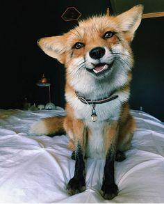 •Juniper the Fox