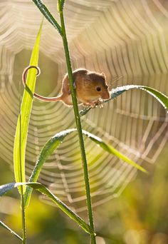 Field Mouse, Field Mice. Any of various small mice or voles, especially of the genus Microtus, inhabiting meadows and fields and often causing damage to crops. Also called meadow mouse. Field Mice by Jean Louis Klein & Marie Luce Hubert (19)