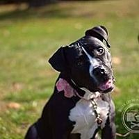 Pictures of Babette a Labrador Retriever/Pit Bull Terrier Mix for adoption in New York, NY who needs a loving home.