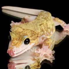 Crested Gecko Piebald