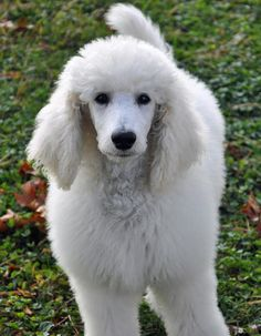 Stella the Poodle.  Pretty girl. It's nice to see a poodle with fur, not one of those show ring 'do's.