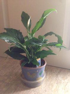 Plantas que purifican nuestra casa: Spathiphyllum o lirio de la paz | Plantas