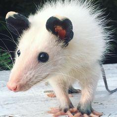 Opossum Care and Rescue