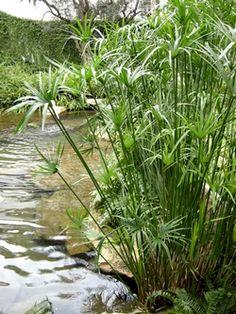 Blue plumbago dream gardens pinterest blue for Best plants for outdoor fish ponds