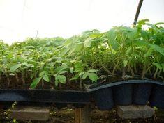 Tehnologie de cultura a tomatelor sau cultivarea rosiilor Modern, Plants, Trendy Tree, Plant, Planets