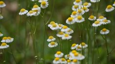 It's #FlowerFriday. These are Fleabane's. I'm pretty sure they are Oakleaf Fleabane's. #FL #nativewildflowers.