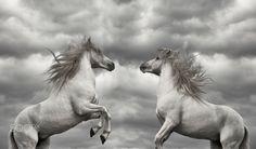 Stallions of Camargue. - Stallions of Camargue. Southern France.