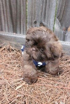 Chocolate Shih Tzu puppy Chocolate Shih Tzu puppy Source by toniabull The post Chocolate Shih Tzu puppy appeared first on Coulson Puppies. Perro Shih Tzu, Shih Tzu Puppy, Shih Tzus, Cute Puppies, Cute Dogs, Morkie Puppies, Imperial Shih Tzu, Malteser, Puppy Pictures