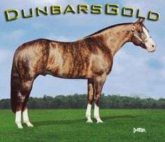 In a nutshell, a chimeric horse develops when two fraternal (non-identical) twins fuse into one embryo in utero. Dunbar's Gold, therefore, has two sets of DNA, resulting in his brindled coat.