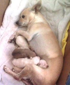 Chihuahua Puppies with Mom