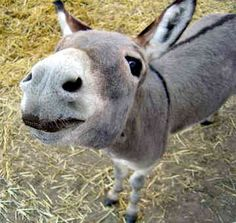There are three categories of donkeys. Miniatures are 36 inches and under. Standards are between 36 and 54 inches. Mammoths are over 54 inches. All measured to the shoulder.