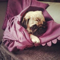 Pug with PTBD (post traumatic bath disorder)