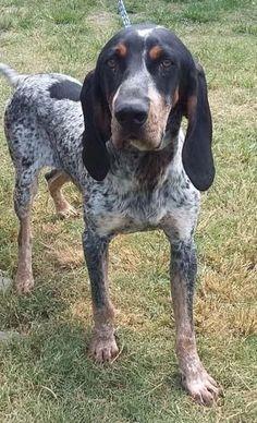 Drew the blue tick coonhound