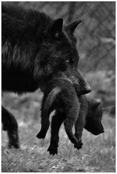 Black wolf carrying her young pup