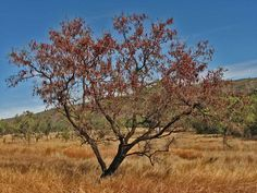 Lysiphyllum cunninghamii, commonly known as the Kimberley Bauhinia or Jigal Tree, is a species of plant in the Combretaceae family. It is native to northern Australia where it occurs from Western Australia through the Northern Territory to Queensland.
