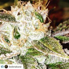 Mr Natural Inc BRAND NAME Medical Marijuana